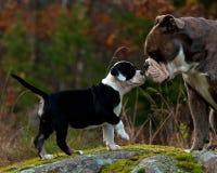 Gammal engelsk bulldogg nio veckor för gammal valp med en vuxen man Arkivfoto