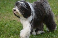 Gammal engelsk fårhund med en rosa tunga som ut når en höjdpunkt fotografering för bildbyråer