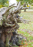 Gammal fallen tree Royaltyfri Fotografi