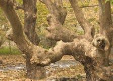 Gammal felik skog Arkivfoto