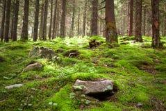 Gammal felik skog med mossa och stenar på förgrund Arkivfoton