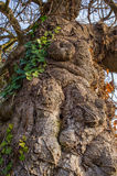 Gammal fikonträd Royaltyfria Foton