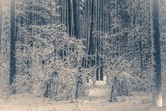 gammal fototappning Trädet sörjer granen i magisk skogvinter Arkivfoton