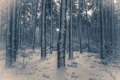 gammal fototappning Trädet sörjer granen i magisk skogvinter Royaltyfri Fotografi