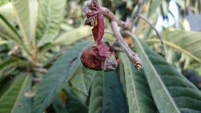 Gammal frukt Royaltyfri Fotografi