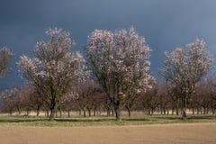 gammal fruktträdgård för mandel Royaltyfria Foton
