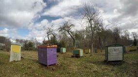 Gammal fruktträdgård för tidig vårlantgård med färgrika bikupor, tidschackningsperiod 4K lager videofilmer