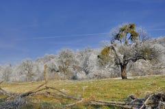 Gammal fruktträdgård i vintertiden Royaltyfria Bilder