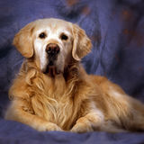 Gammal golden retriever Royaltyfria Foton