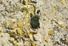 Gammal grå betongvägg med gult och mörkt - grön mossa, grungetextur fotografering för bildbyråer