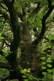 gammal grön oak Arkivfoto
