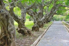 gammal grön plumeriaträdtunnel royaltyfri foto