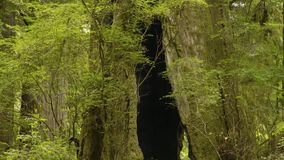 Gammal grön skog som täckas med mossa, med brutna träd, 4K del 8 arkivfilmer