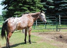 gammal häst Arkivfoton