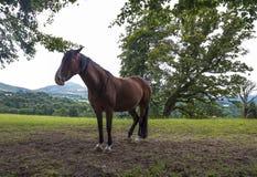 Gammal häst i berglandskap ireland Arkivfoto