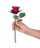 Gammal hand som ger en ros Royaltyfri Bild