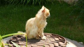 Gammal hemlös röd katt på gatan Katt för kort hår för närbildstående gullig amerikansk Gullig kattframsida stock video