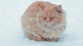 Gammal hemlös röd katt på gatan Katt för kort hår för närbildstående gullig amerikansk Gullig kattframsida lager videofilmer