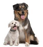 gammal herde för 17 australiensiska hundmånader Arkivbilder