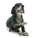gammal hund Royaltyfri Fotografi