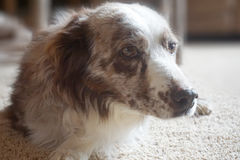 gammal hund Royaltyfri Bild