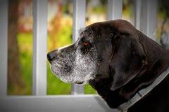 gammal hund Arkivfoto