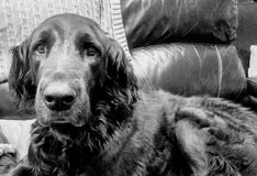 gammal hund Royaltyfria Foton