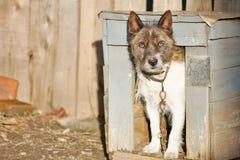 Gammal hund i en hundkoja Royaltyfria Bilder