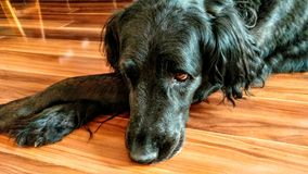 Gammal hund som ner lägger Arkivbild