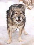 Gammal hund som skäller i vintern arkivfoto