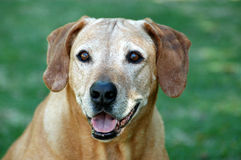 gammal hundframsida Royaltyfri Fotografi