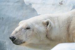 Gammal isbjörn Arkivfoton