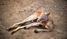 Gammal känguru Royaltyfri Bild