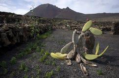 gammal kaktus Royaltyfria Foton