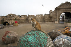 Gammal katt i gammal stad Marocko Afrika Royaltyfria Bilder