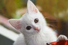 gammal kattunge leka sex vita veckor Arkivbild