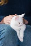 gammal kattunge vila sex vita veckor Royaltyfri Fotografi