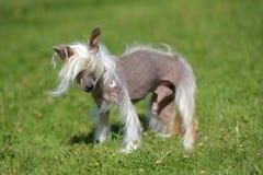 Gammal kines krönad hund arkivbild