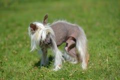 Gammal kines krönad hund fotografering för bildbyråer