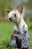 Gammal kines krönad hund arkivfoton