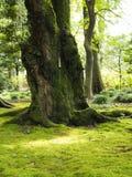 Gammal knotig träd och mossa royaltyfria foton