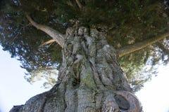 Gammal knotig trädstam Royaltyfri Bild