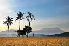 Gammal koja, gammal kokosnöt, gammalt berg Royaltyfria Foton