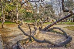 Gammal krokig tree Fotografering för Bildbyråer