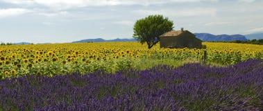 Gammal ladugård i solros- och lavendelfält på platån De Valensole arkivbild