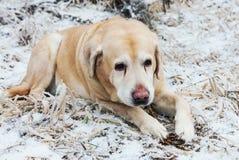 Gammal ledsen guld- labrador retriever hund i vinter royaltyfri fotografi