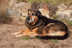 Gammal ledsen hund som ligger i trädgården Ledsen look Vila i gamling sjuk hund Royaltyfri Foto