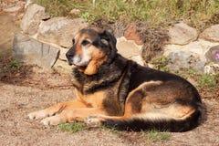 Gammal ledsen hund som ligger i trädgården Ledsen look Vila i gamling sjuk hund Arkivbilder