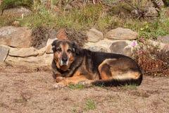 Gammal ledsen hund som ligger i trädgården Ledsen look Vila i gamling sjuk hund Royaltyfria Foton