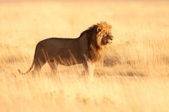 gammal lion Royaltyfri Fotografi